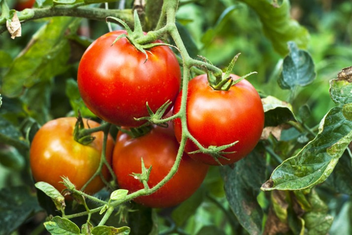 tomatoes-vine
